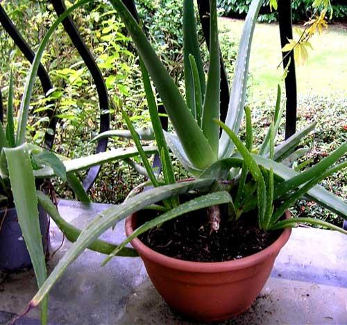 Cultiver Aloe Vera chez soi