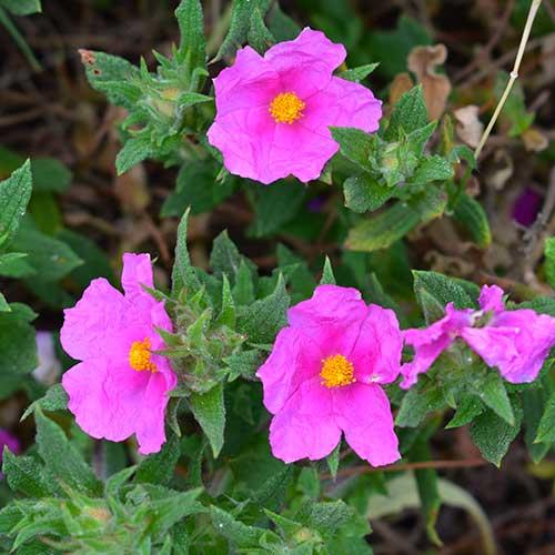 Cistus Incanus Tea : Fleur Cistus Incanus